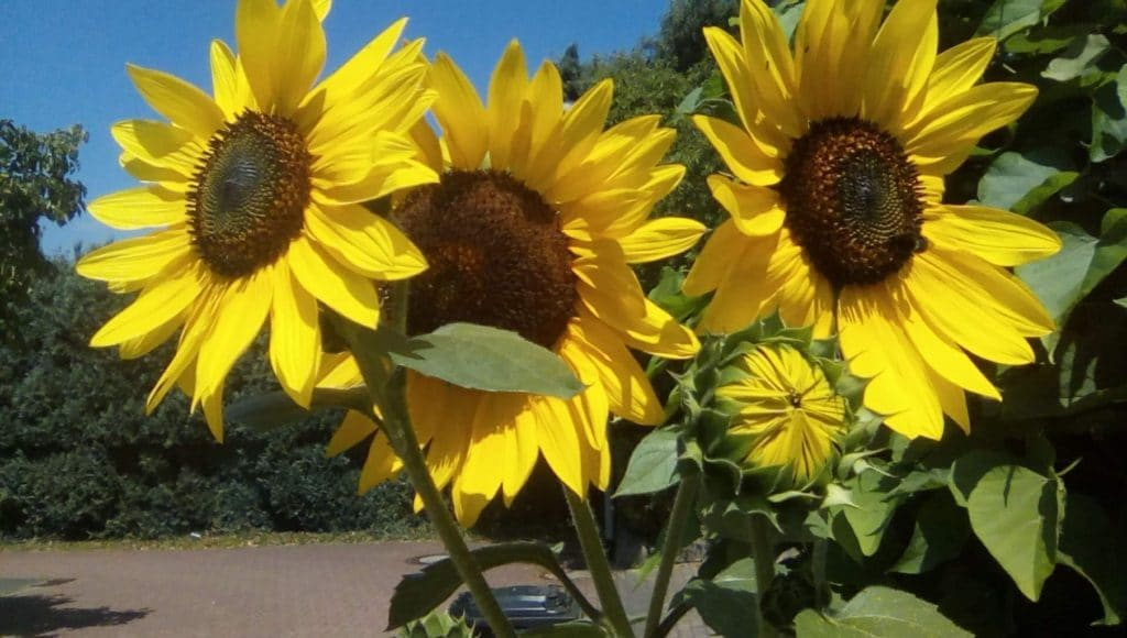 Drei Sonnenblumen mit Knospe
